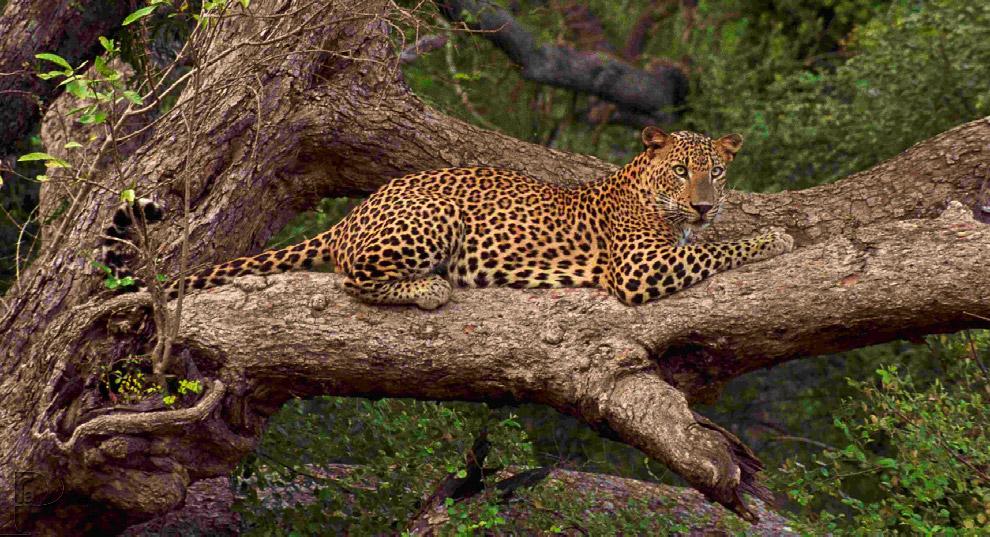 Цейлонский леопард внешне схож с индийским леопардом, однако отличается от него меньшими размер