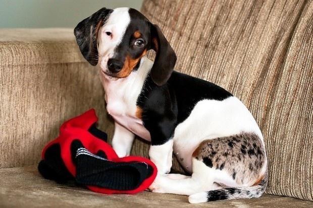 И хотя, глядя на представителей некоторых взрослых псов, обычно думают только о нестандартности окра
