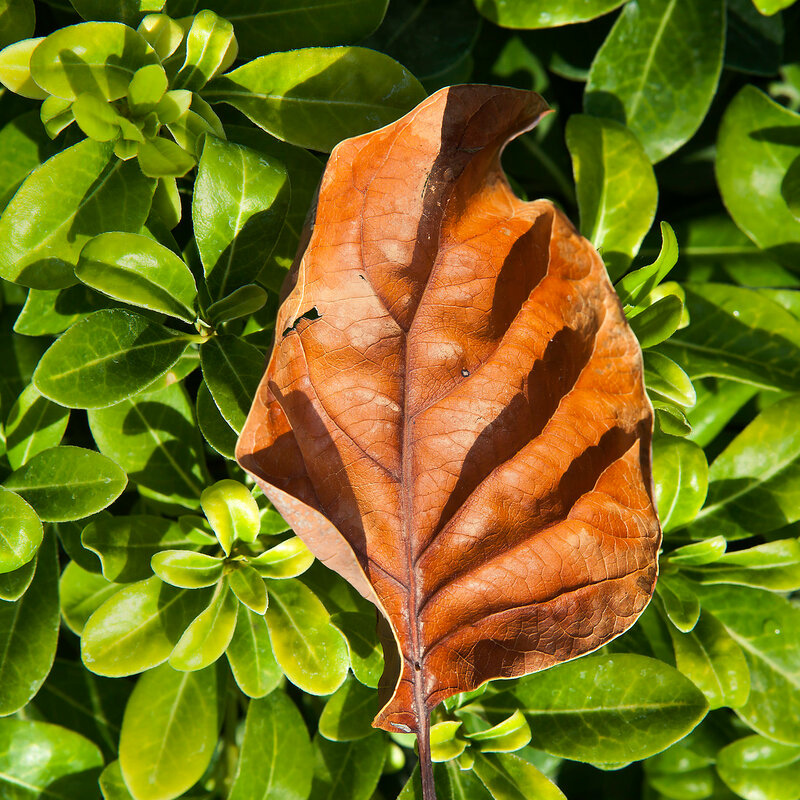 a dried leaf orange tree lies on the young green leaves. Life and death