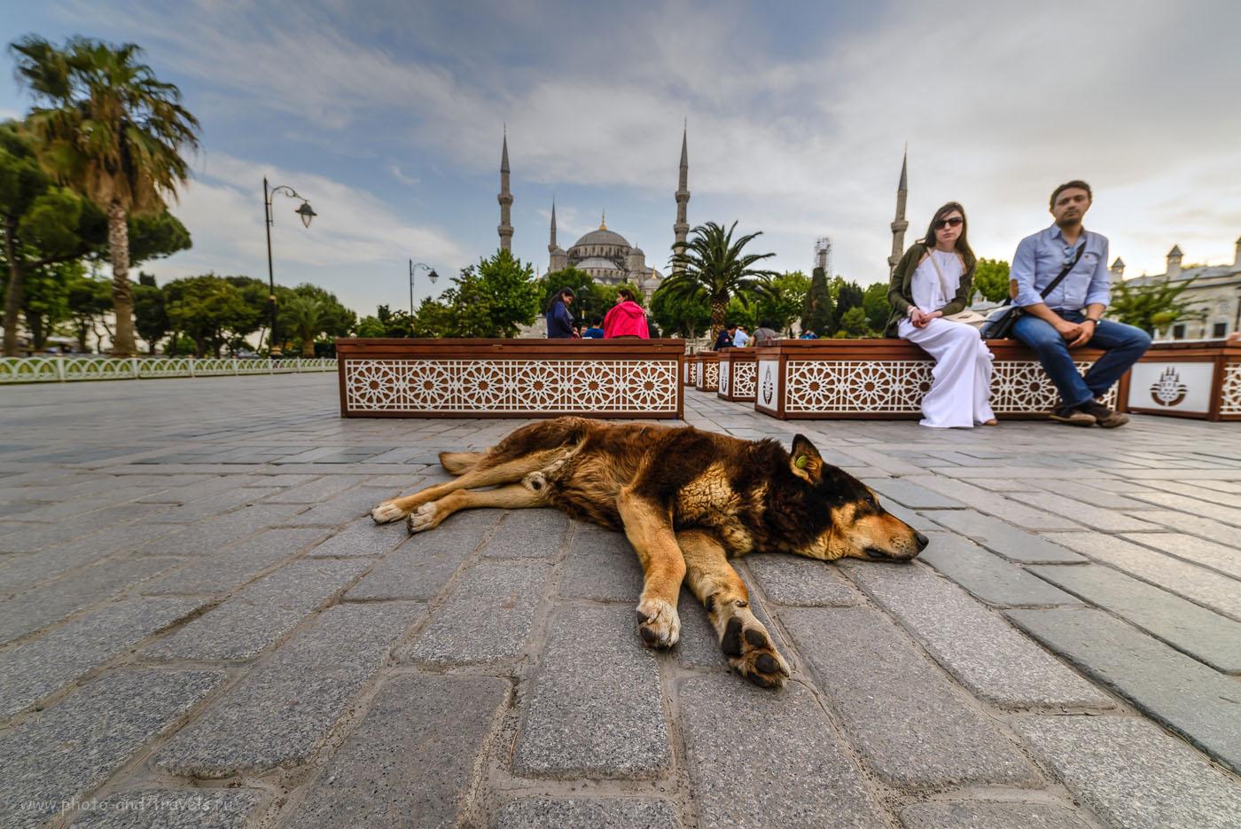 Фото 10. Собака на площади Султанахмет на фоне Голубой мечети. Обратите внимание: дворняга чипирована. Путешествие по Турции самостоятельно. Объектив Samyang 14mm f/2.8. Настройки: 1/160, 8.0, 200, 14, тонмаппинг.