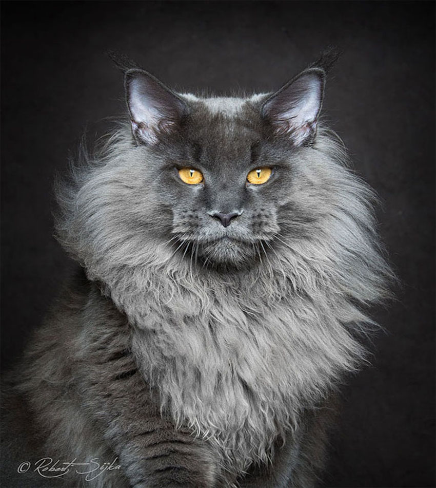 Portraits of Maine Coon by Robert Sijka