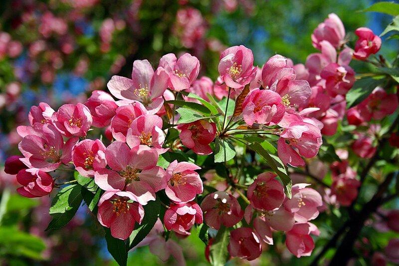 Опять в бушующем цветенье старинный яблоневый сад