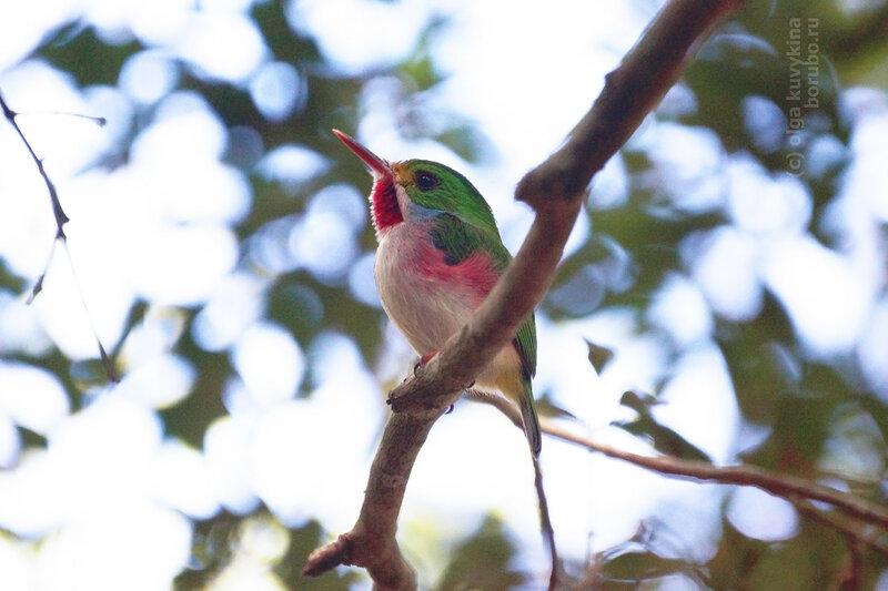 Кубинский тоди (Todus multicolor), Cuban tody