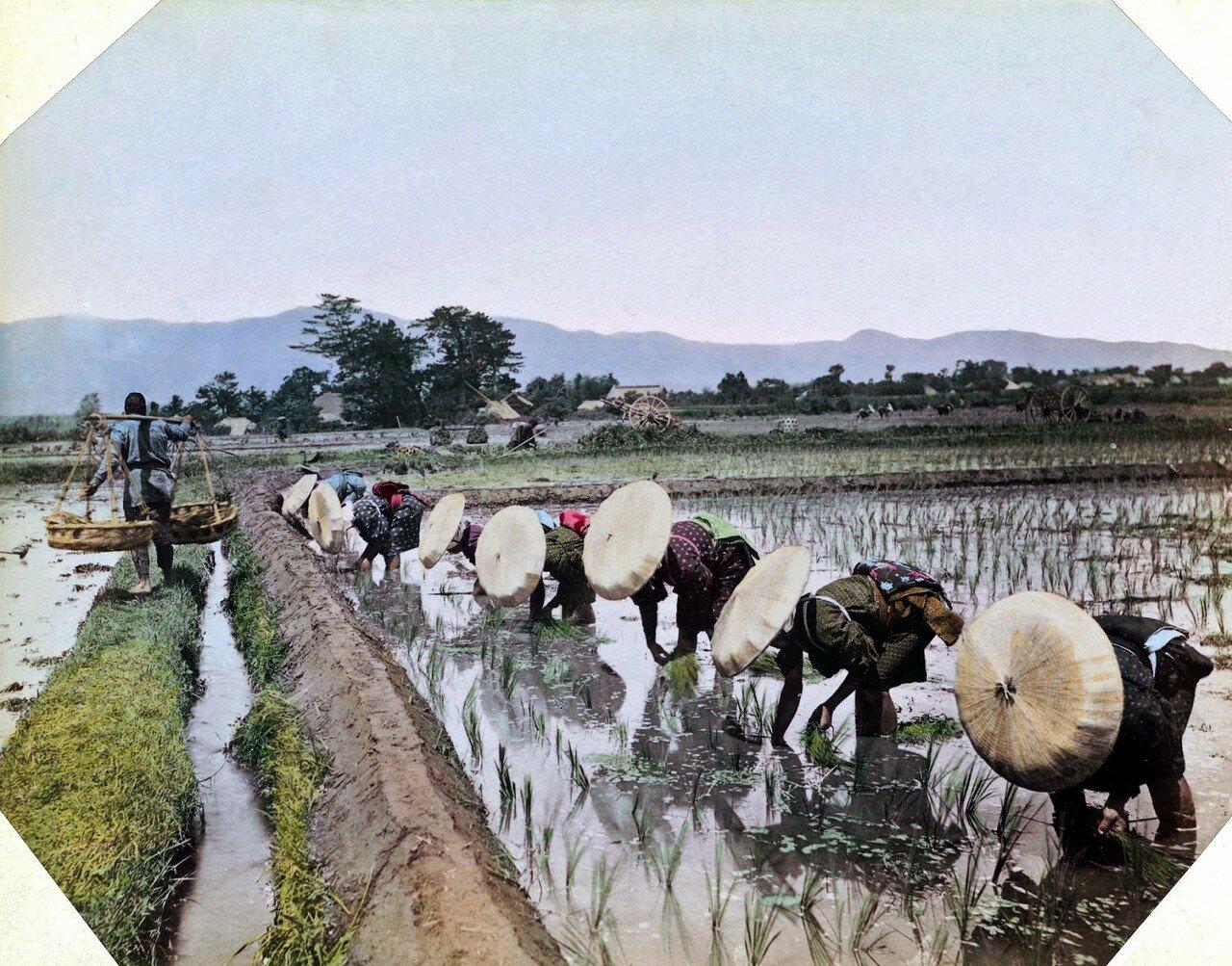 Японки в бамбуковых шляпах на рисовой плантации. 1895