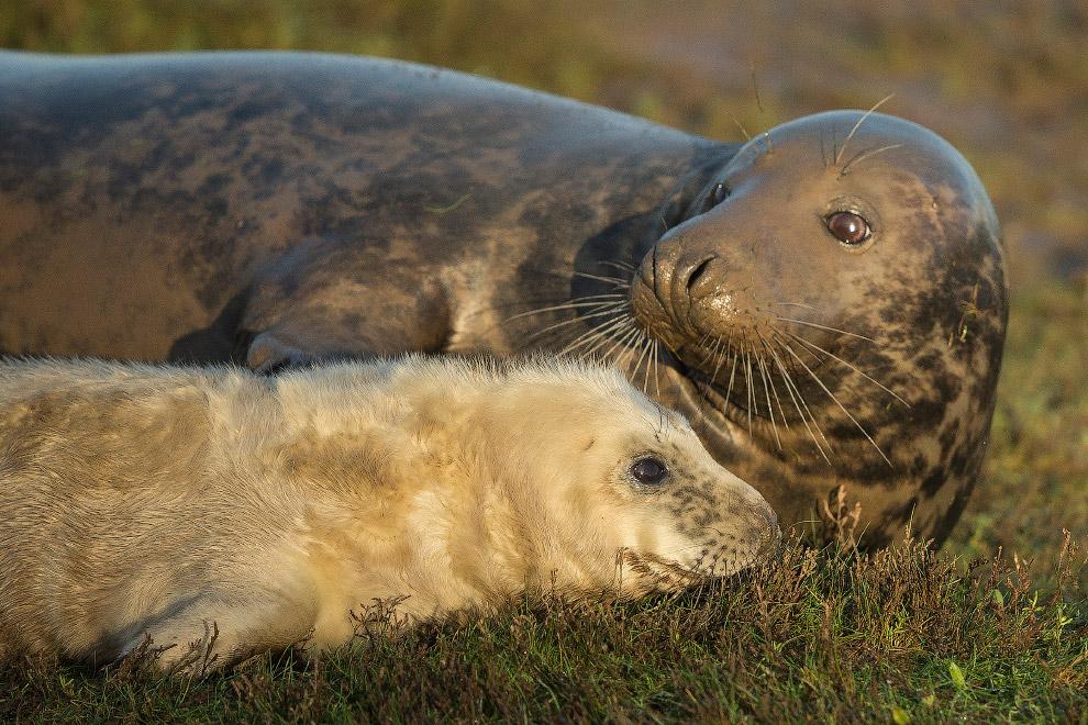 Самцы обычно пребывают в заповедник в конце октября — начале ноября и загоняют самок в гаремы.