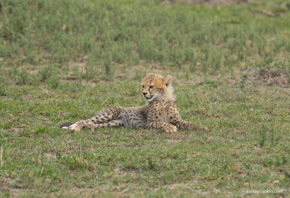 5. Перед тем, как начать охоту, самка гепарда высматривает не только добычу, но и других хищников. И