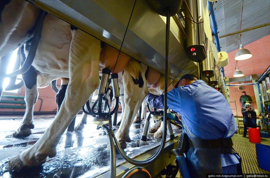 завод коровы продукты