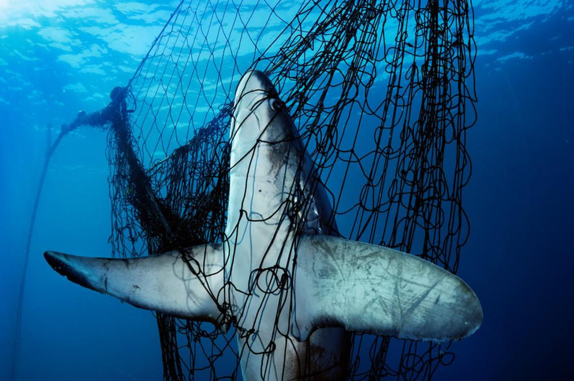 A thresher shark caught in a gillnet in Mexico's Sea of Cortez. Tens of millions of sharks die each