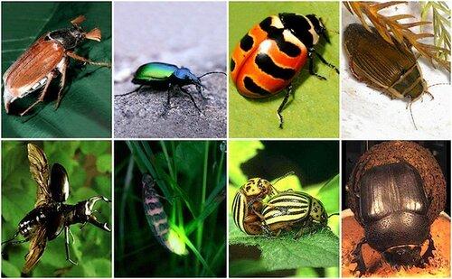 Coleoptera (Жесткокрылые)
