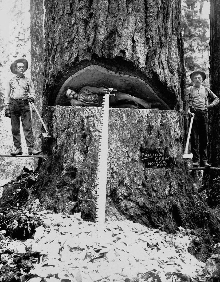 1899. Штат Вашингтон  Лесоруб лежащий в распиле пихты Дугласа