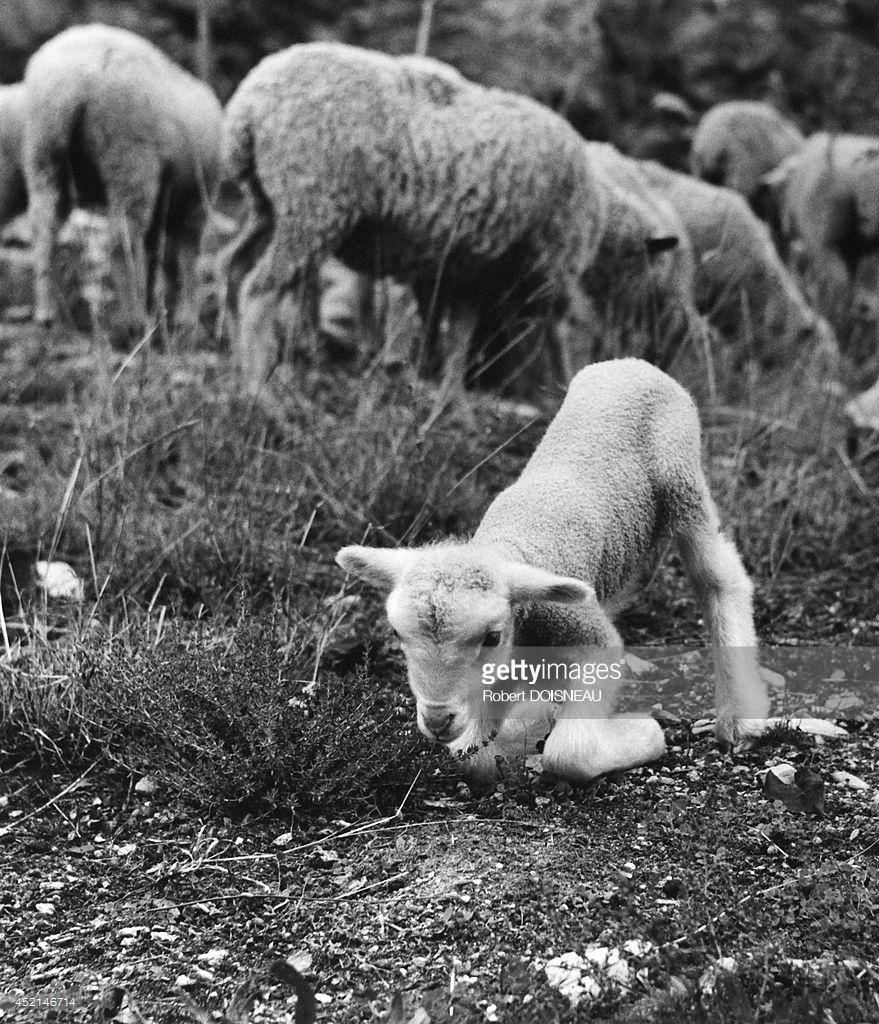1958. Новорожденный ягненок во время сезонного перегона на летние пастбища возле Вальберга 25 июня
