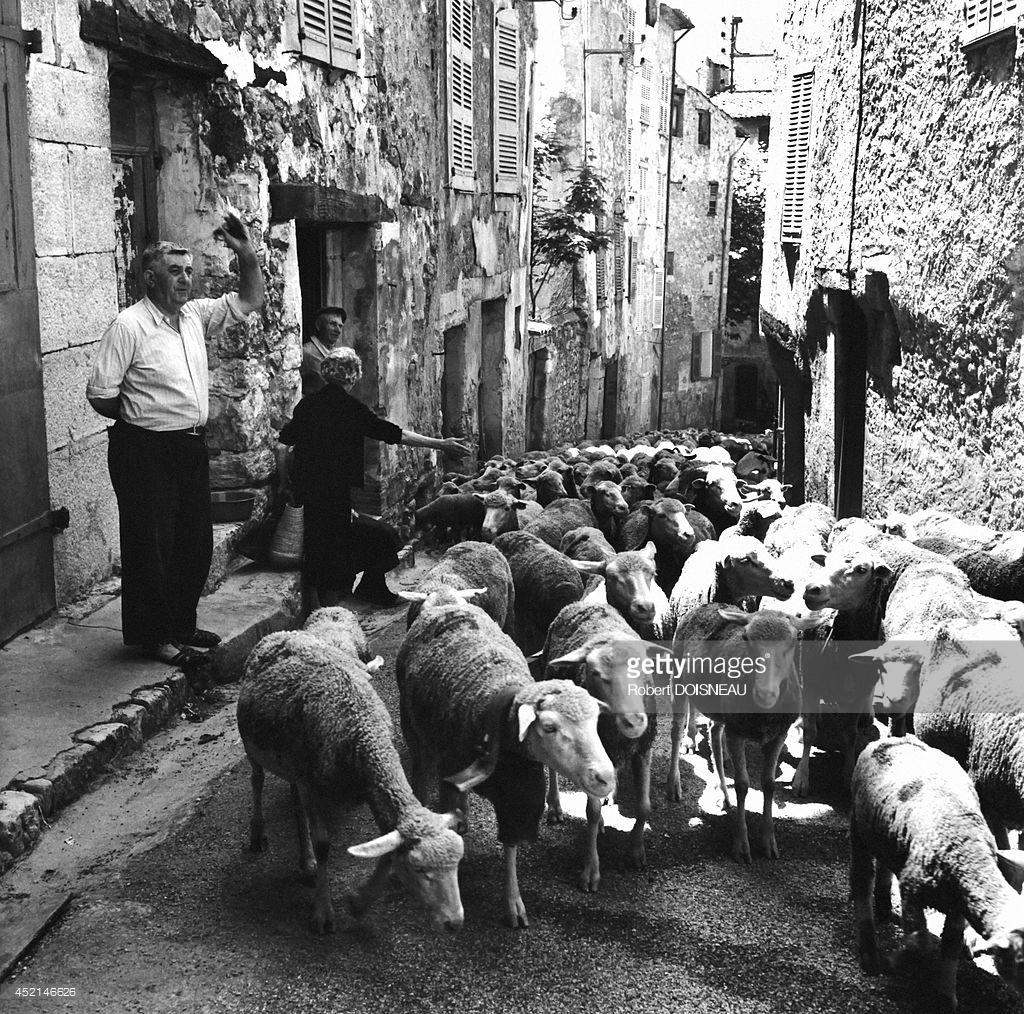1958. Стадо овец во время сезонного перегона на летние пастбища. Вальберг 25 июня