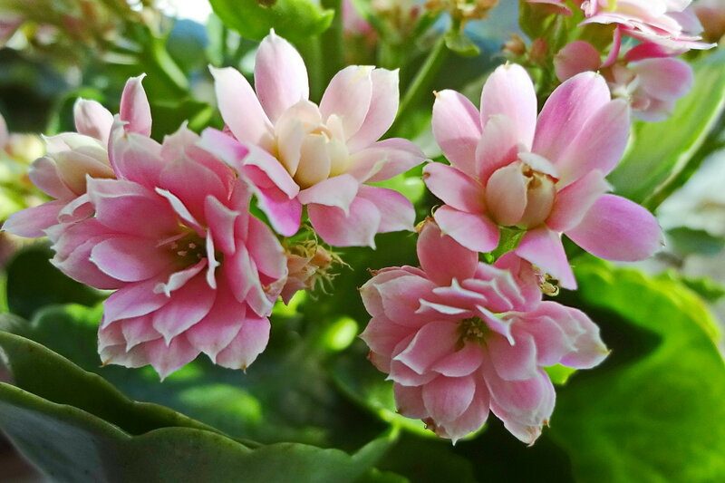 Цветы каланхоэ.