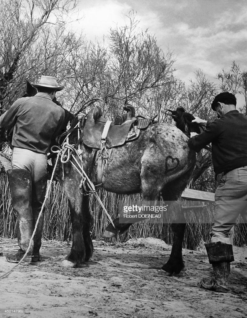 1947. Камарг (региональный природный парк). Лошадь
