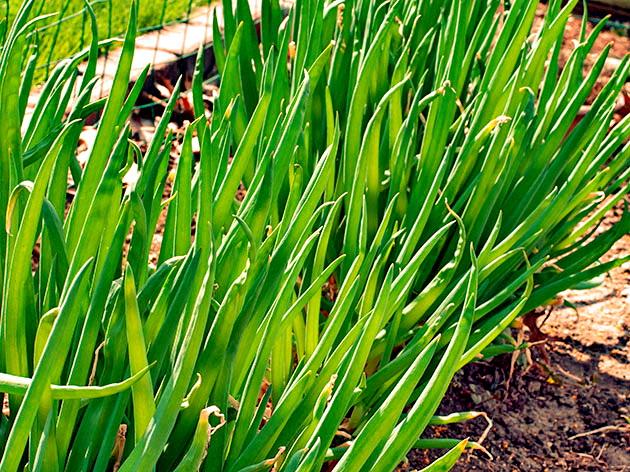 onion_green3.jpg