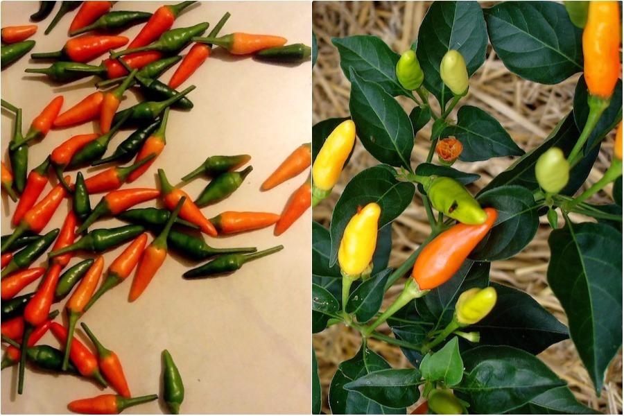 Почему перец острый декоративный «Оранжевый гном» не острый?