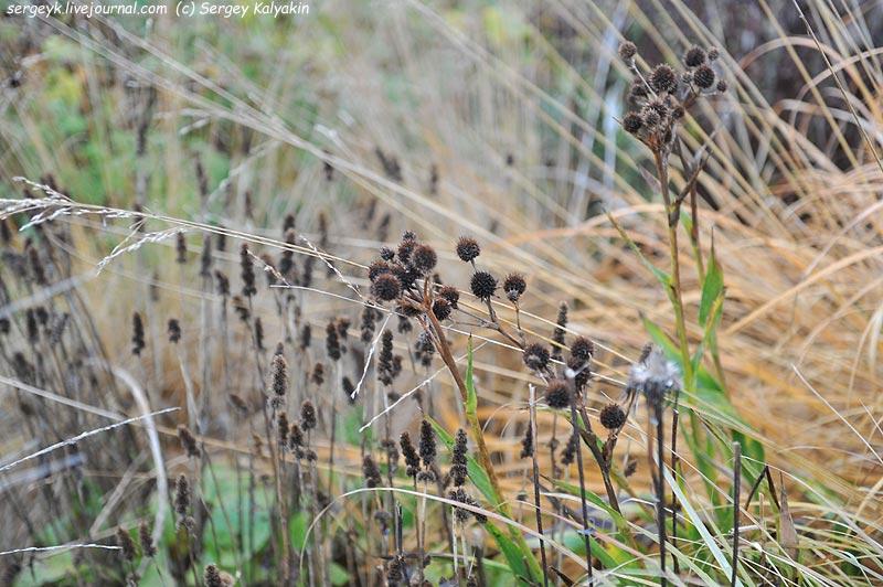 Eryngium yuccifolium Stachys monniery Hummelo Molinia Transparent.JPG