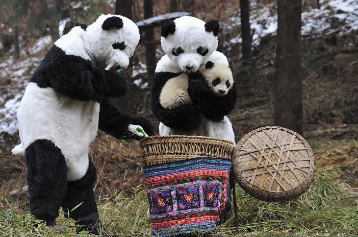 Уникальные резерваты большой панды (29 фото)