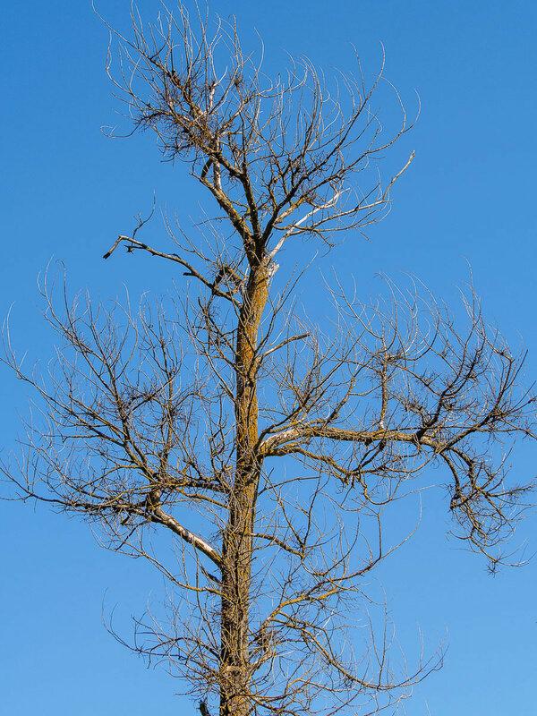 Засохшее дерево.