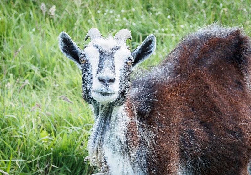 Очень весёлая коза.