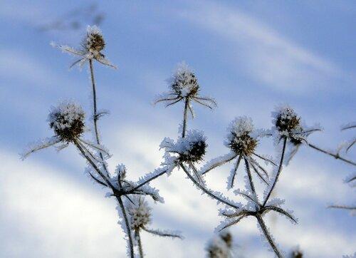 Синеголовник зимой
