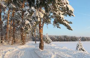 зимний пейзаж с соснами
