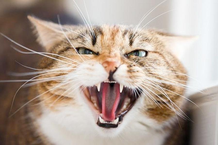 Активная агрессия у кошек фото