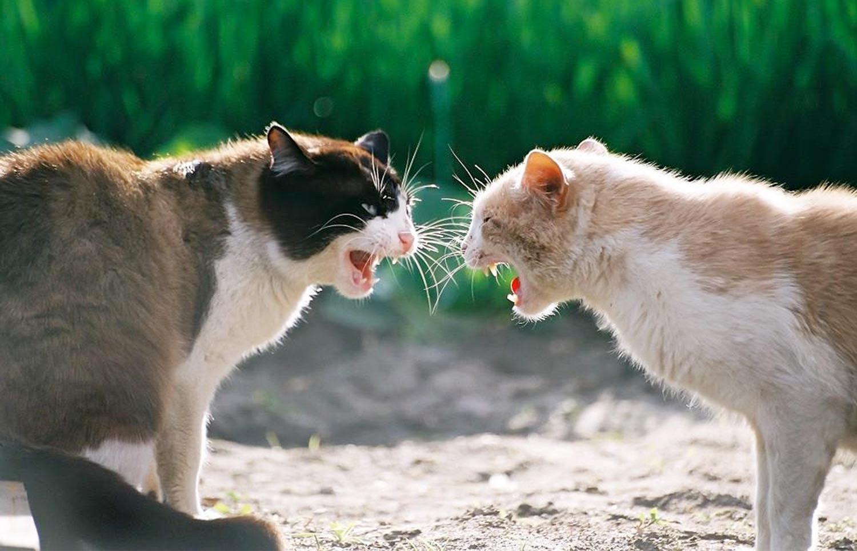 Агрессия между котом и котом фото