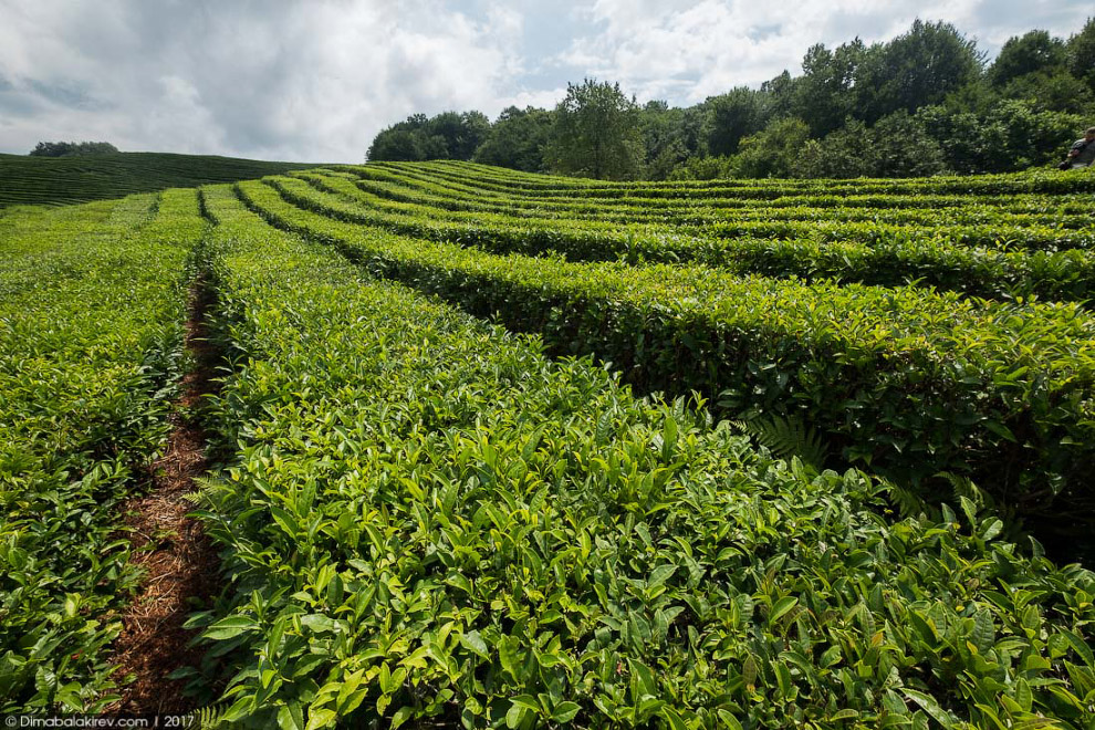 5. Много это, или мало — 7 тысяч тонн? В мировом производстве чая лидируют Индия (св. 975 тыс