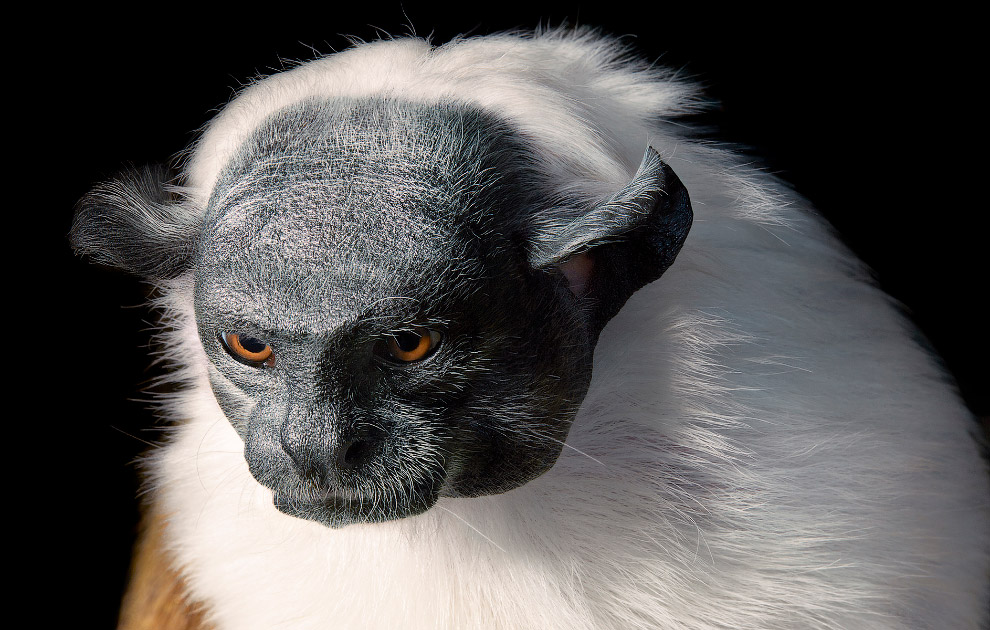 14. Чёрный ринопитек. Только 17 групп этих животных с общим числом не более 1700 особей обитают на с