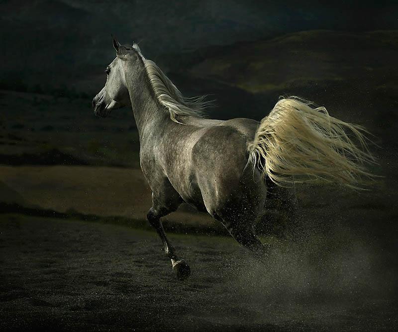 35. Арабских лошадей также используют в поисково-спасательных операциях и иногда в полиции. (Wojtek