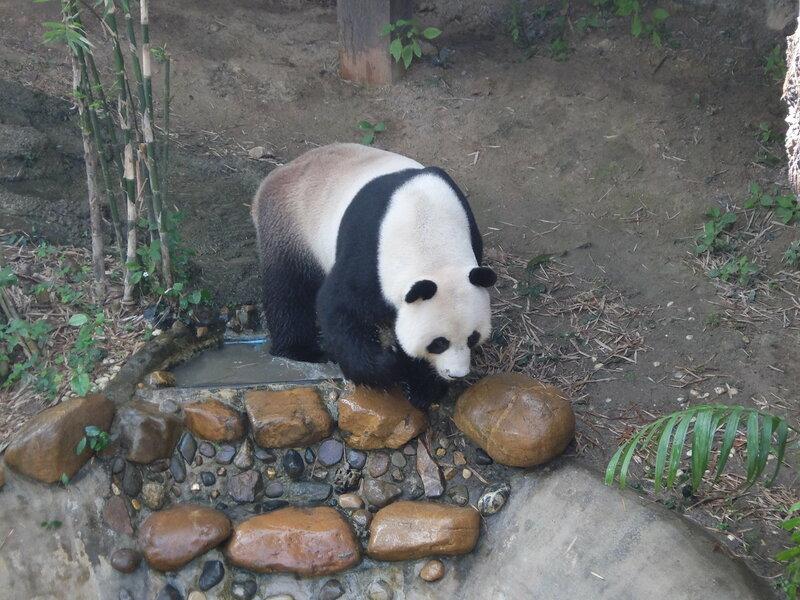Чиангмай - Зоопарк - Панда плескается