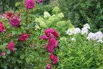 IMG_5748.JPG  роза кустарниковая Уильям Шекспир (William Shakespeare) Austin 1987