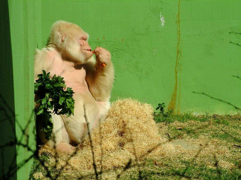 Copito de Nieve, albino gorilla, Barcelona Zoo