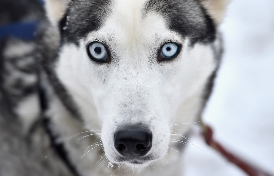 A husky waits for practice ahead of the Aviemore Sled Dog Rally on January 19, 2016.