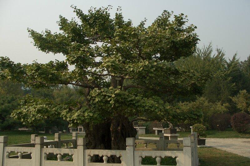 Бонсай гинкго. Ботанический сад Пекина