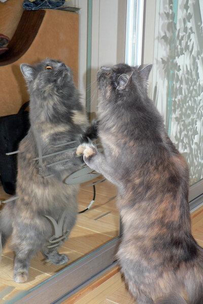 раздвоение кошки