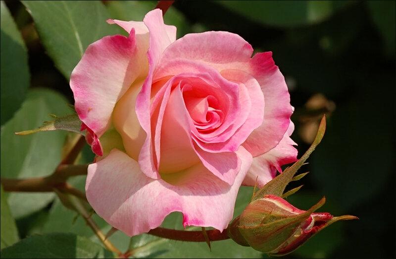 лучший розы фото