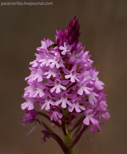 Орхидея Анакамптис пирамидальный - Anacamptis pyramidalis Rich.