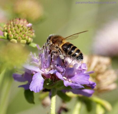 Пчела на скабиозе темно-пурпуровой (Scabiosa atropurpurea, семейство ворсянковые – Dipsacaceae) на полянке рядом с отелем Sol Milanos Pinguinos (Alaior), куда мы с коллегами зашли пообедать бесплатно (спасибо за приглашение добрым меноркинцам)