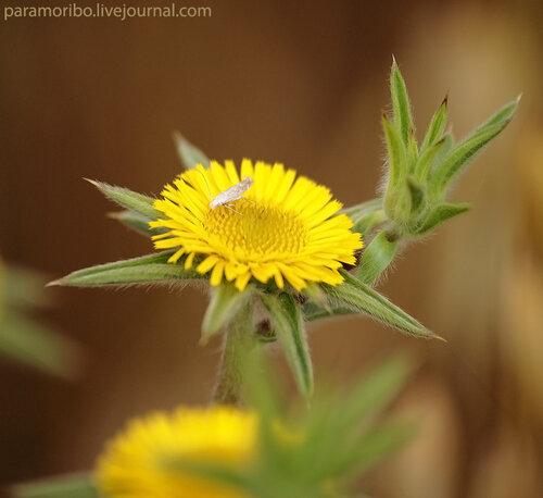 Палленис колючий (Pallenis spinosa/Asteraceae – сложноцветные)