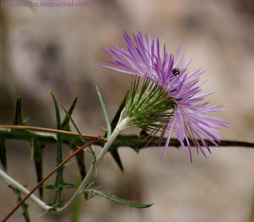 Галактитес войлочный (Galactites tomentosa/Asteraceae – сложноцветные)/ На Менорке распространен повсеместно, образует гигантские лиловые и сиреневые пятна на лугах вдоль дорог