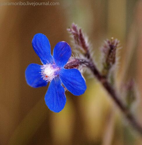 Анхуза итальянская (Anchusa italica/Boraginaceae – бурачниковые), от лат. «анхуза» - косметика, грим (красящее вещество из корней когда-то использовали в качестве макияжа)