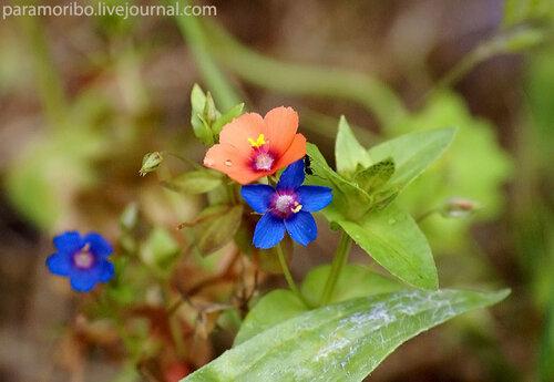 Анагаллис полевой (Anagallis arvensis/Primulaceae – семейство первоцветные, родич примулы)