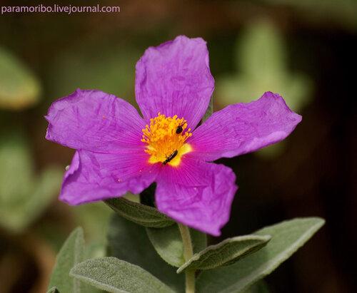 Цистус альбидус, ладанник (Cistus albidus/Cistaceae)