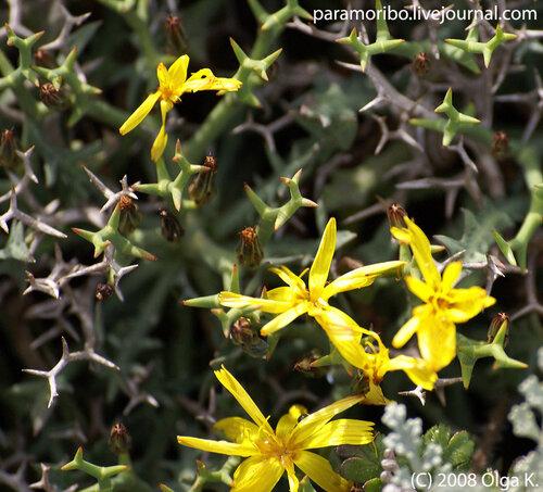 Василек балеарский (Centaurea balearica/сложноцветные) – колючая «подушка» на приморских скалах. Эндемик Балеарских островов (встречается только здесь и нигде больше).