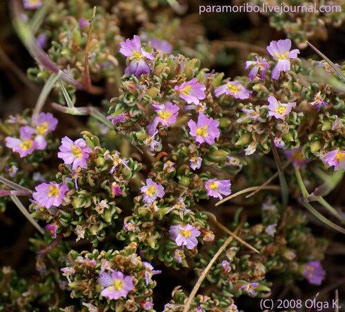 Франкения гладкая ( Frankenia laevis/Frankeniaceae – семейство франкениевые)