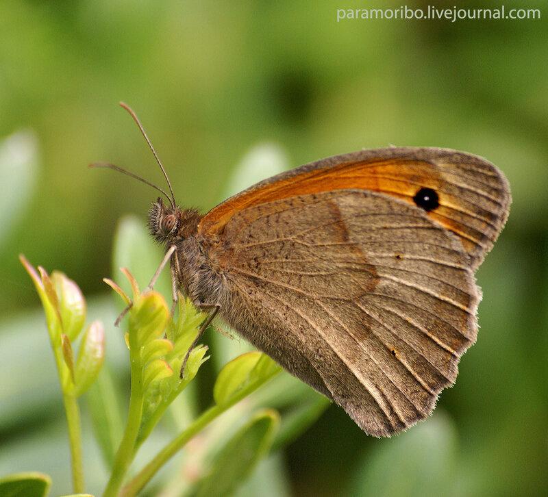 Воловий глаз, бархатница волоокая (Maniola jurtina/Satyridae - семейство бархатницы (сатириды)