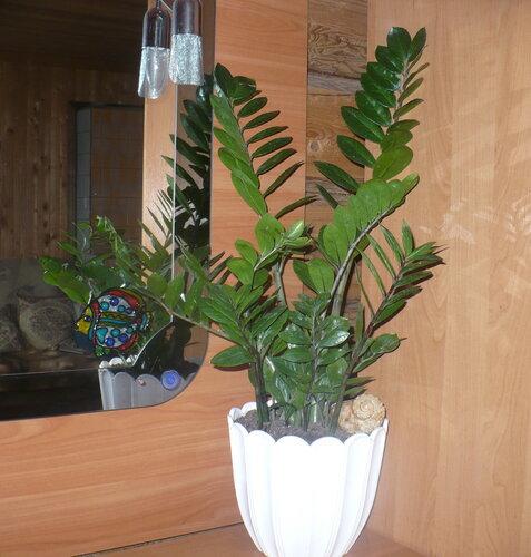 Долларовое дерево замиокулькас фото уход в домашних условиях - TurnPike