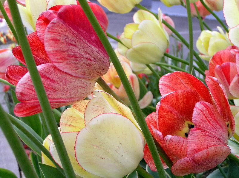 Тюльпаны на ветру.